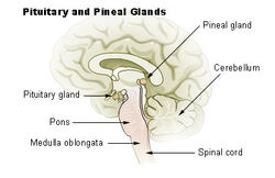 Illu pituitary pineal glands