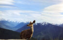 Deer and Olympic Mountains.jpg