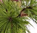 Colors of conifer needle leaves
