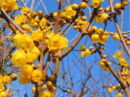 Allspice blossoms-2717.jpg
