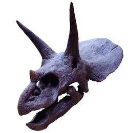 Triceratops-skull