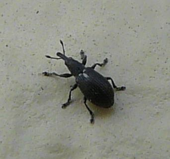 Coleoptera Wildlife Of Alberta Wiki