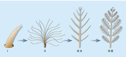 Feather evolution Stages1to3b