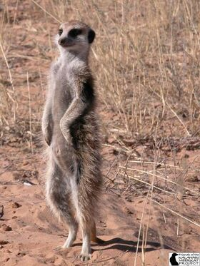 Evicted female meerkat