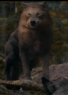 Image - Quil-wolf.jpg - Twilight Saga Wiki - Wikia