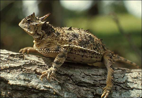 It's a real horned lizard. Waffles 's species.