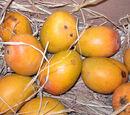 Growing Mangos