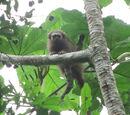 Mono Tocón