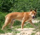 Új-guineai éneklő kutya