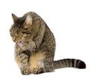 Las bolas de pelo en los gatos