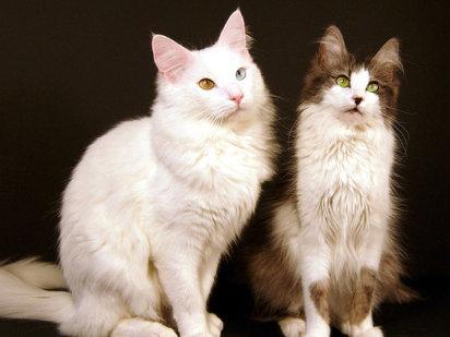 Gato angora turco - Wiki Gatopedia