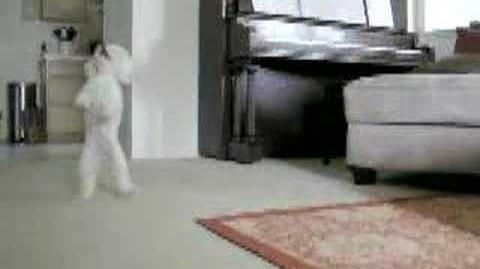 Best toy poodle tricks!!!
