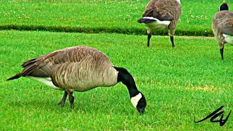 Canada Geese Behivor