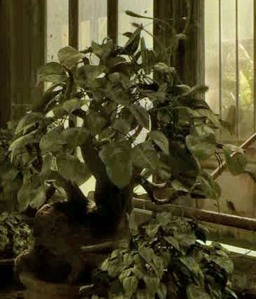Tentacula velenosa italian harry potter wiki for Mobili harry potter