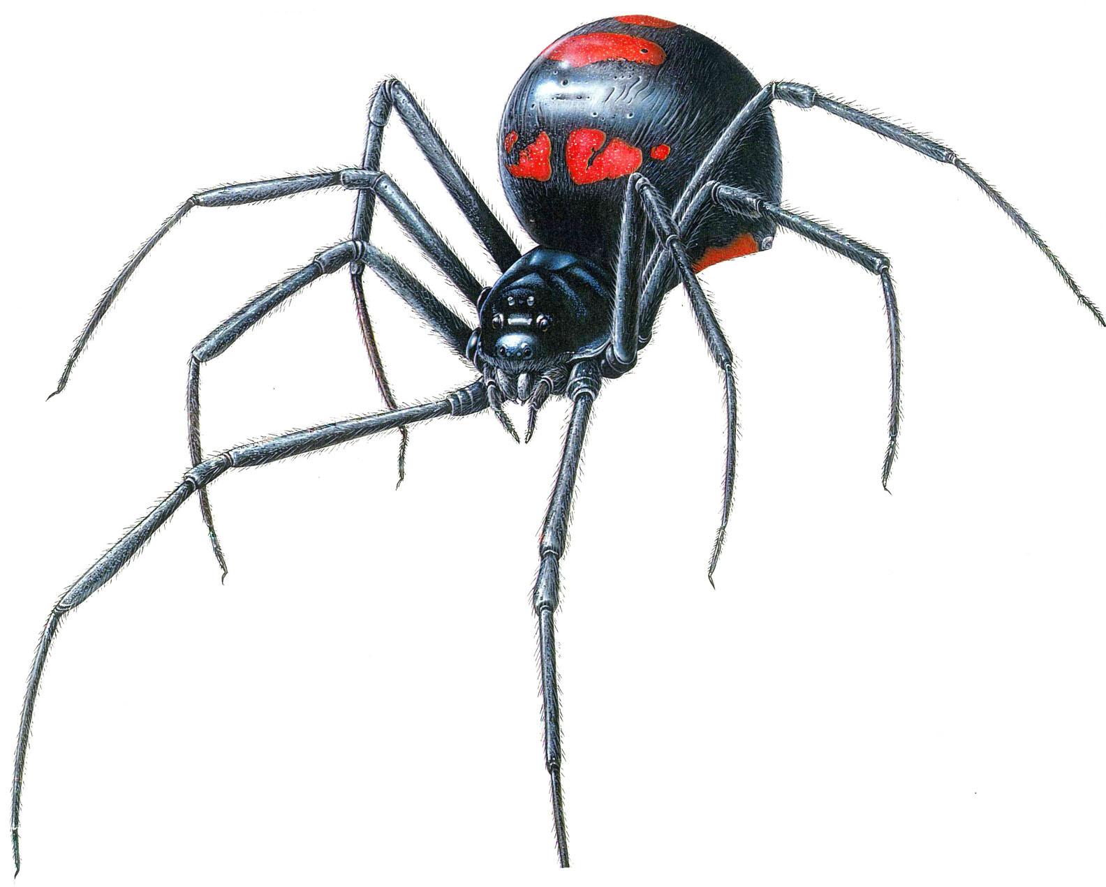Black Wood Spider Viewing Gallery