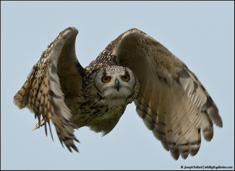 Hawk vs owl - photo#23