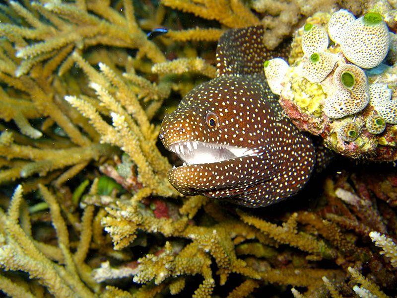 muraenidae animal database
