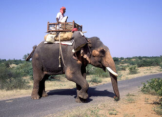 Elephant rider - india