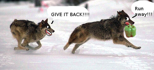 Funny Wolf Pics Image Funny Wolf Pics by
