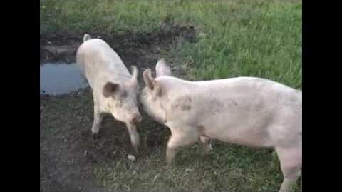Pigs Playing