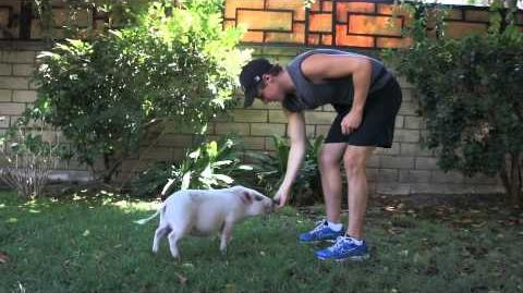 Kendall and Kevin Schmidt's Yuma The Pig