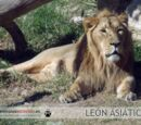 León Africano (Panthera leo) y León Asiático (P. leo persica)
