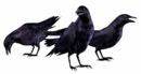 REOutbreakCrows.png