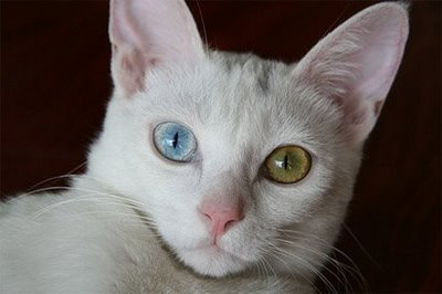 Image - White cat blue green eyes.jpg - Warrior Cats - The ... White Kitten With Blue And Green Eyes