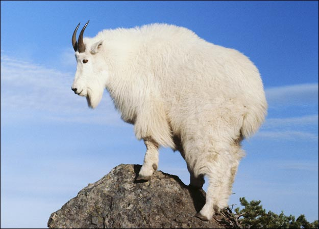 http://img2.wikia.nocookie.net/__cb20130202195550/rsroleplay/images/e/e8/Mountain-goat.jpg