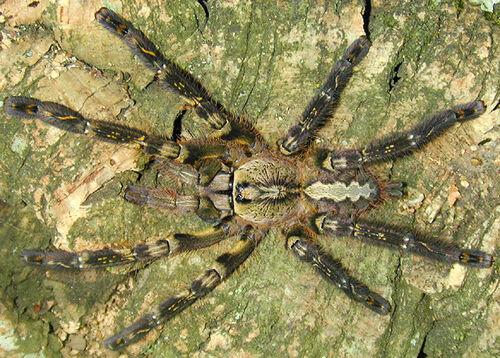 Орнаментальный тарантул