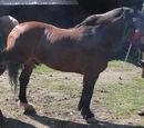 Czechosłowacki koń zimnokrwisty