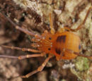 Biantidae