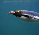 Pingwin Złotoczuby/Galeria