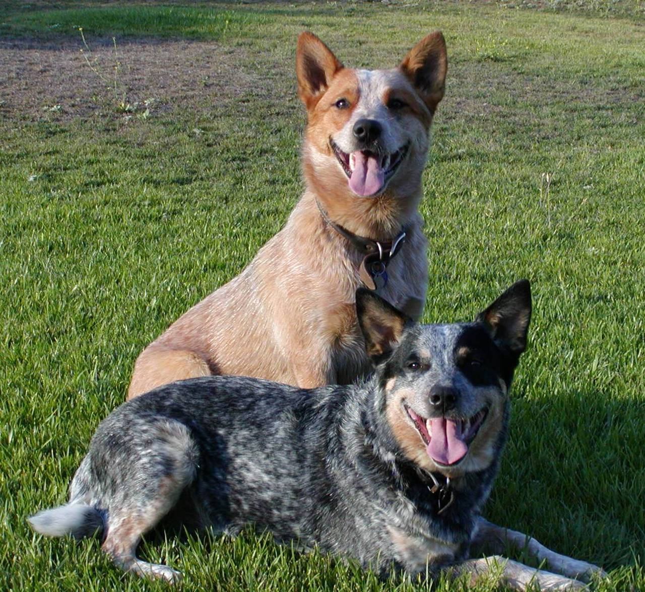 Cattle Dog Breeds