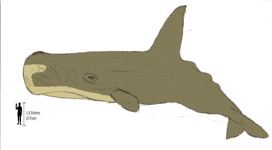 High finned sperm whaleHigh Finned Sperm Whale