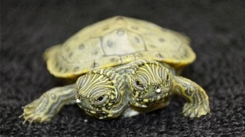 2 Headed Turtle Born in Texas
