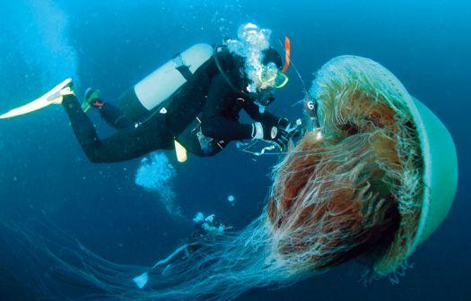 Lion's Mane Jellyfish - Knowledge Base LookSeek.com |Longest Jellyfish Ever Recorded