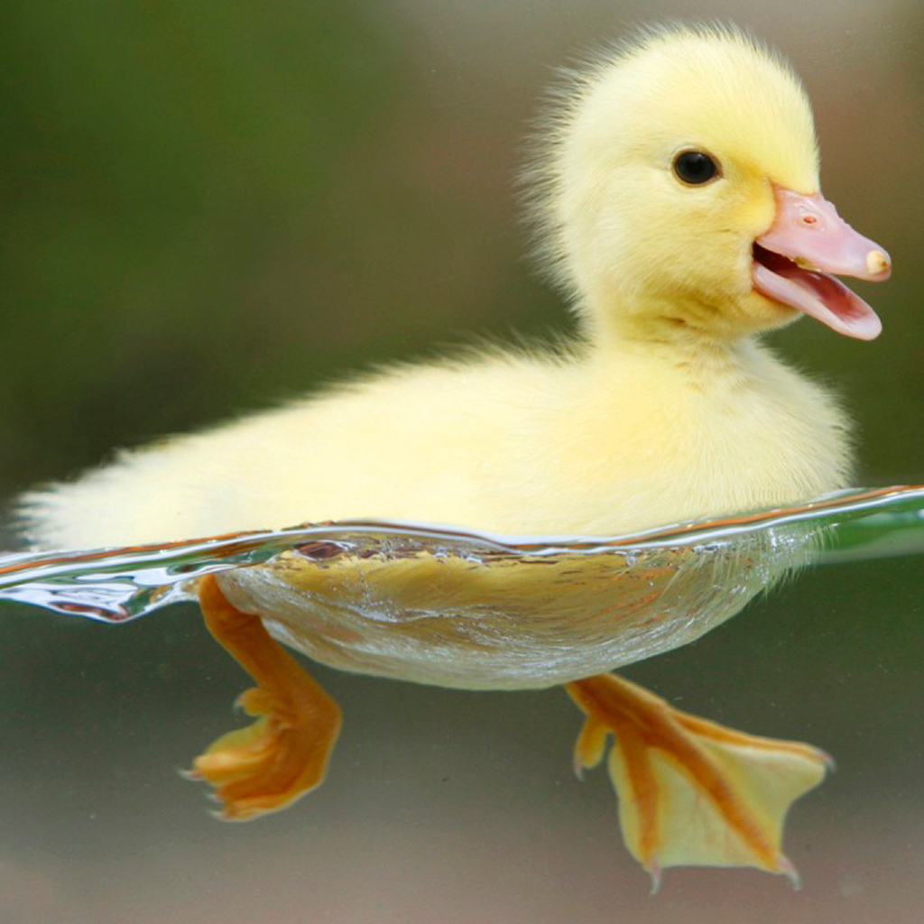 Image - Baby duckling ...