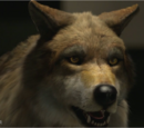 Wolves / Gallery
