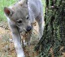 Czechosłowacki wilczak