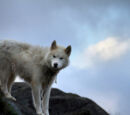 Greenland wolves