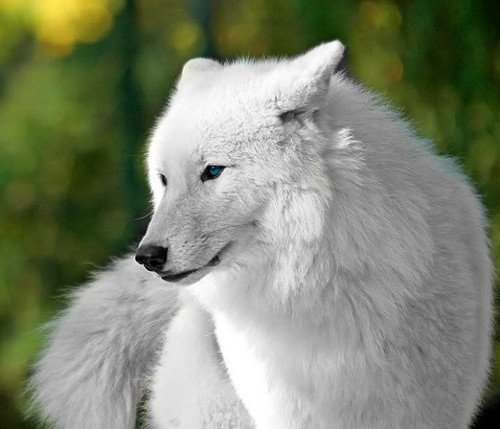 File beautiful white wolves wolves 32683888 718 616