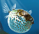 Puff Fish