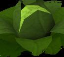 Brassica Prima