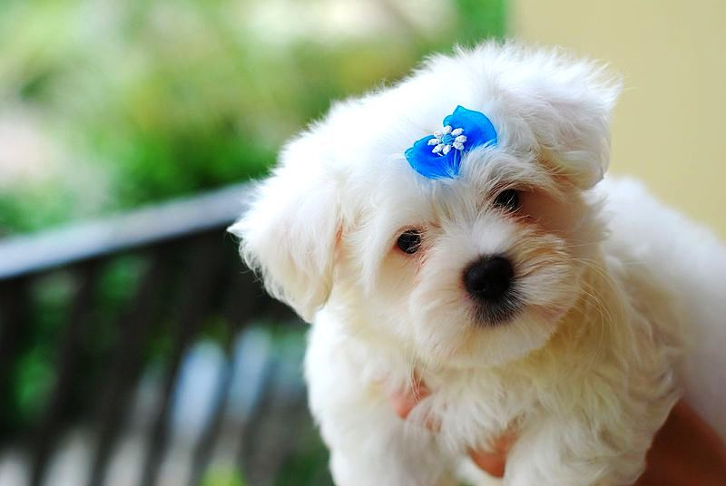 puppy with blue bow