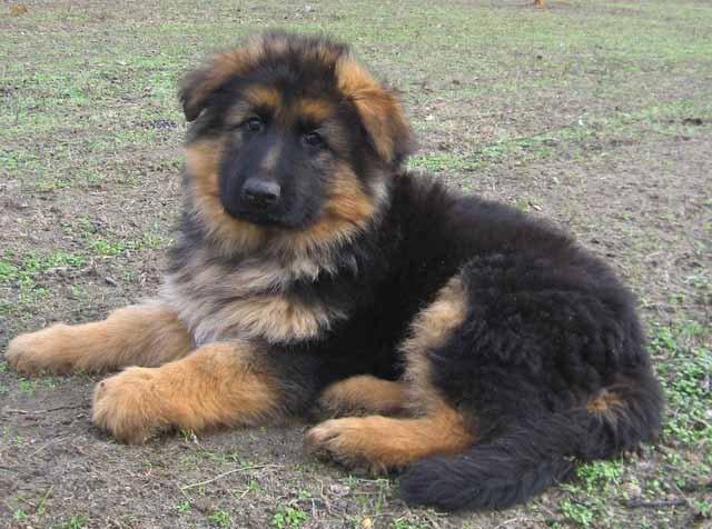 1 Year Male German Shepherd Dog Cross Labrador: German-shepherd-dog1.jpg