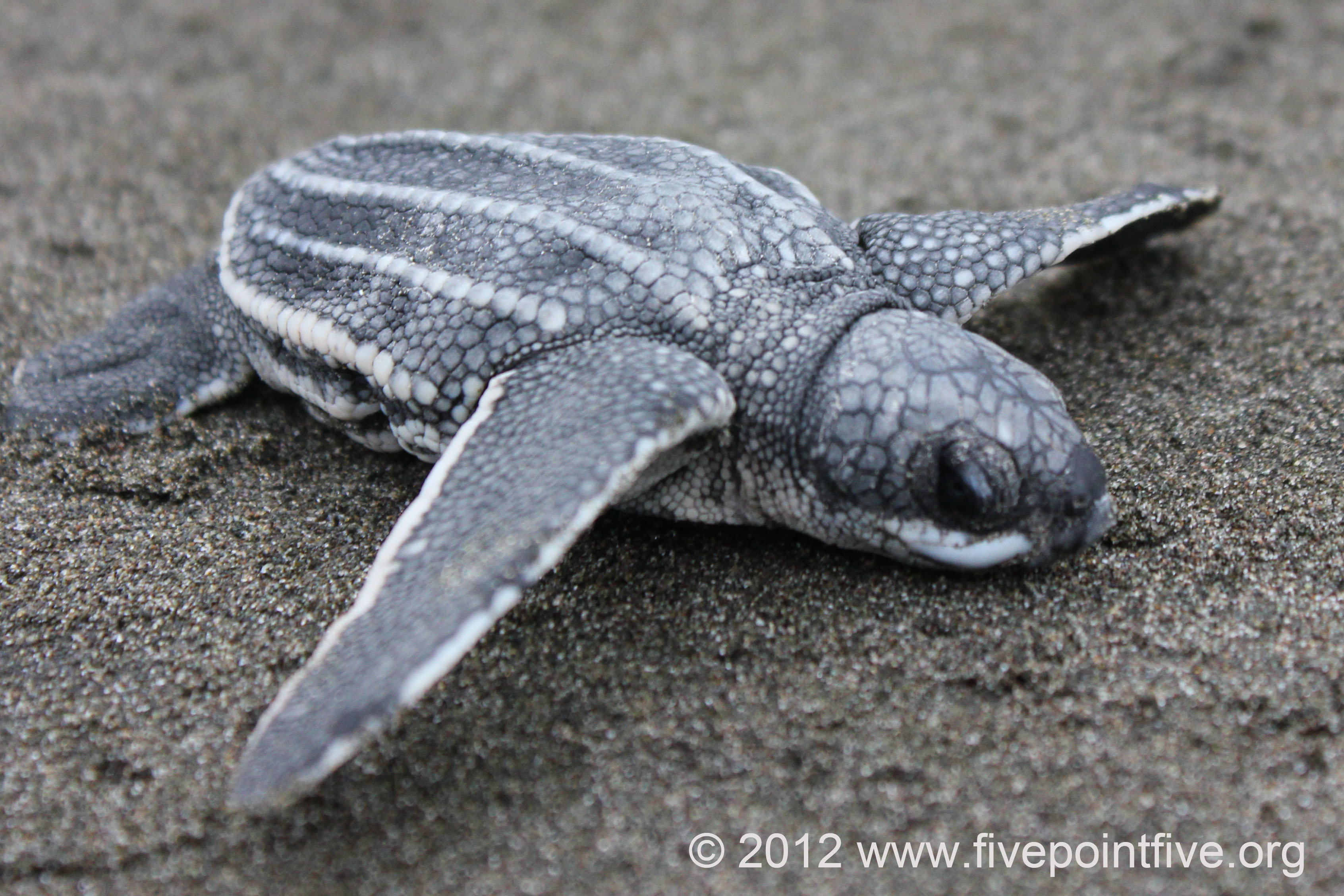 Leatherback Turtle Ss Ectotherms Wiki
