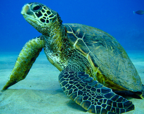 a look at sea turtles and their endangerment World's largest sea turtle could come off 'endangered under the endangered species diving and most migratory of all sea turtles, and for their lack of a.
