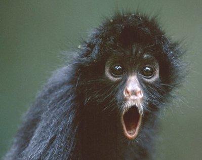 reserva de la biosfera selva del ocote Mono-arana-alucinando