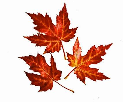 Image - AutumnLeaves jpg Autumn Leaves